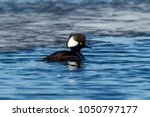 A Hooded Merganser Swims In A...