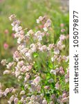 Small photo of Bladder campion (Silene vulgaris)