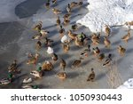 a lot of wild ducks and drake... | Shutterstock . vector #1050930443