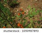Asclepias curassavica L.It is a single leaf green herb, bouquet of flowers, red-orange petals, bouquet of flowers. Long bobbin fruit