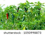 flower of chilli and fresh... | Shutterstock . vector #1050998873