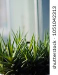 Small photo of Haworthia attenuate plant. Succulent house plante