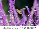 allen's hummingbird ... | Shutterstock . vector #1051185887