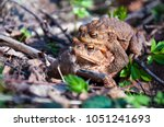 the pairing of common toads ... | Shutterstock . vector #1051241693
