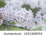 beautiful sakura or cherry... | Shutterstock . vector #1051308953