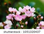 bouquet pink flowers blooming...   Shutterstock . vector #1051320437