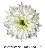 white flower chrysanthemum ... | Shutterstock . vector #1051350737