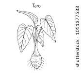 taro  colocasia esculenta  ... | Shutterstock .eps vector #1051377533