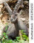 Small photo of Alpine ibex sits and rests.
