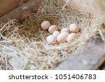 Nest Of Chicken Eggs