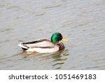 male mallard  anas... | Shutterstock . vector #1051469183