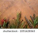 australian native bottle brush... | Shutterstock . vector #1051628363