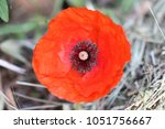 Small photo of Poppy flower or papaver rhoeas poppy in full bloom close to remembering 1918, the Flanders Fields poppies poem by John McCrae and 1944, The Red Poppies on Monte Cassino song by Feliks Konarski