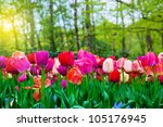 Colorful tulip flowers in a sunny green spring park, garden - stock photo