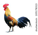 Thai red rooster on white...