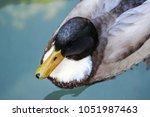 Wild Duck Or Mallard  Anas...