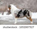 australian shepherd outdoors   Shutterstock . vector #1052007527
