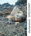 marine iguana on santiago... | Shutterstock . vector #1052153387