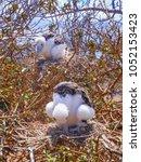 two young frigatebirds fregata... | Shutterstock . vector #1052153423
