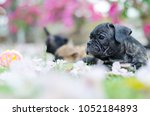 black french bulldog puppy... | Shutterstock . vector #1052184893