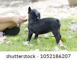 black french bulldog puppy play ... | Shutterstock . vector #1052186207