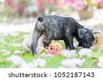 french bulldog puppy play a... | Shutterstock . vector #1052187143