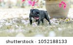 baby french bulldog puppy. dog... | Shutterstock . vector #1052188133