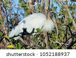 wood stork at everglades... | Shutterstock . vector #1052188937