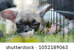 close up baby french bulldog... | Shutterstock . vector #1052189063