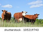 Cattle Trio   One Red Hereford...