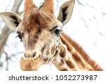 giraffe portrait   the northern ...   Shutterstock . vector #1052273987