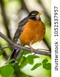 Small photo of American robin ,Turdus migratorius is a migratory songbird in the thrush family