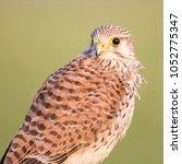 common kestrel  falco...   Shutterstock . vector #1052775347
