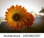 Straw Flower Or Everlasting Or...