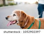 Stock photo closeup of happy golden retriever dog on walk in city 1052902397