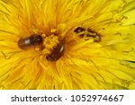 Small photo of The raspberry beetle (Byturus tomentosus). Beetles on the flower of a dandelion. It is a beetles from fruitworm family Byturidae a major pest affecting raspberry, blackberry and loganberry plants.