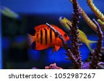 flame angelfish  centropyge... | Shutterstock . vector #1052987267