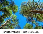 tall pine trees reaching for...   Shutterstock . vector #1053107603