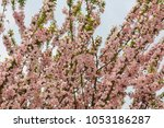 pink cherry blossoms in full... | Shutterstock . vector #1053186287