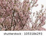 pink cherry blossoms in full... | Shutterstock . vector #1053186293