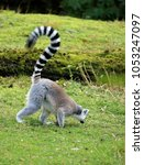 ring tailed lemur in the grass | Shutterstock . vector #1053247097