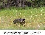 Wild Black Bear In Grass  In...