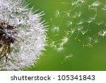 dandelion fuzz swelled drops | Shutterstock . vector #105341843