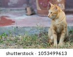 thai cat with yellow eyes | Shutterstock . vector #1053499613