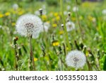 Small photo of Faded fluffy dandelion florets (milk-witch gowan) on a background of a blossoming meadow.