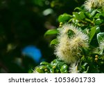 eucalyptus seed blossoms and... | Shutterstock . vector #1053601733