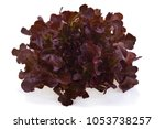 red oak lettuce on white... | Shutterstock . vector #1053738257