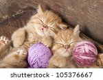 Stock photo exotic kittens sleeping with a ball of wool 105376667