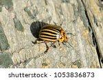 potato beetle on wooden... | Shutterstock . vector #1053836873