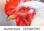 Small photo of Close-up white feathered rooster with red caruncle looking at camera.